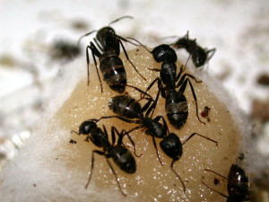 Controlling Carpenter Ants