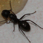 carpenter-ant-treatments