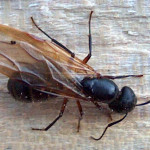 Winged Carpenter Ant