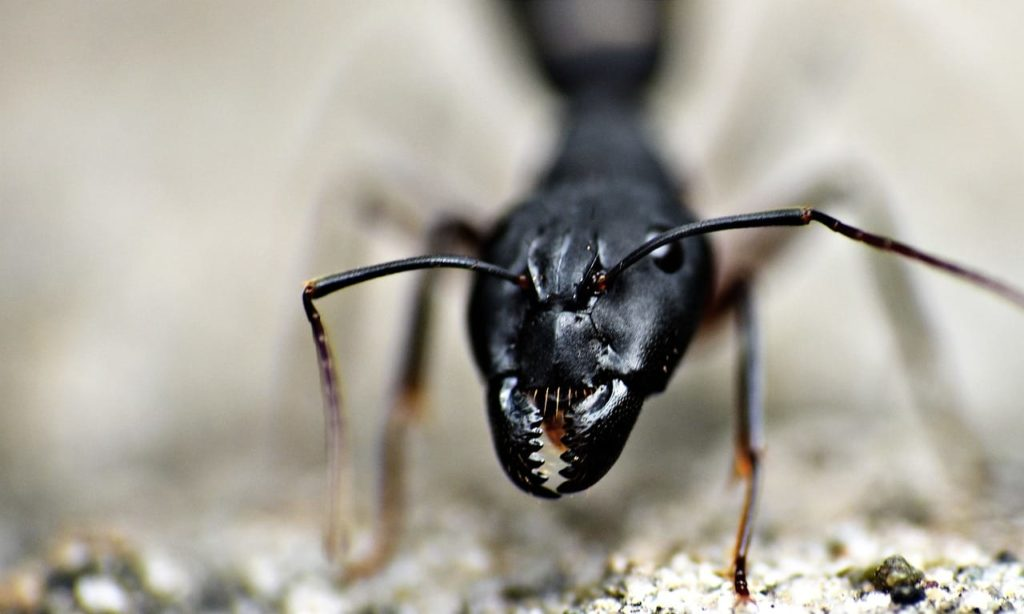 Are All Large Black Ants Carpenter Ants?