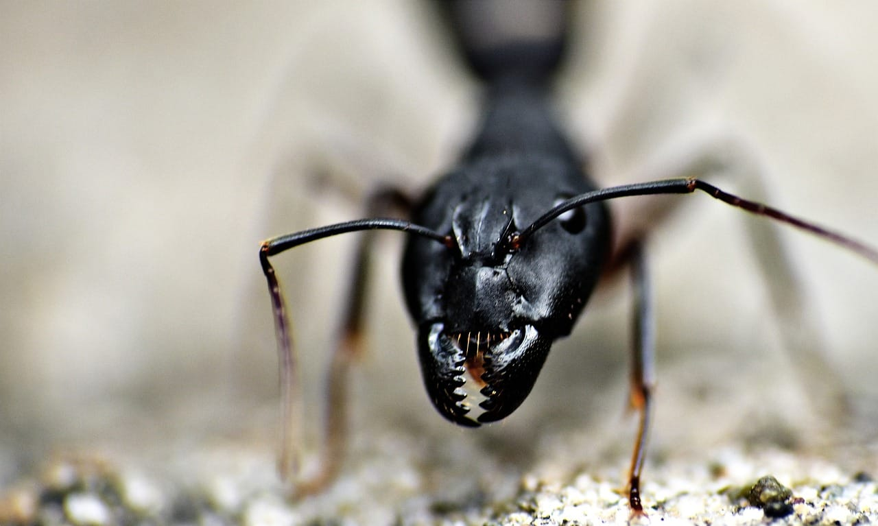 Are All Large Black Ants Carpenter Ants