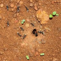 How to Find a Carpenter Ant Nest