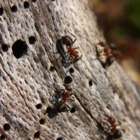 Signs of Carpenter Ants in the House