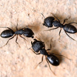 Large ants, carpenter ants