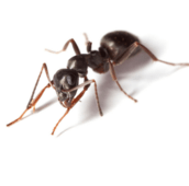 pavement ant control